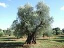 AVVISO per concessione temporanea gratuita di piante d'olivo di proprietà comunale finalizzata esclusivamente alla raccolta delle olive nella stagione 2018
