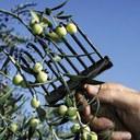 Olive pubbliche, è tempo di raccolta. Pubblicato l'avviso per la concessione a titolo gratuito delle piante ai privati.