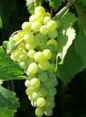 REGIONE LAZIO - AGRICOLTURA: VITIVINICOLO - Autorizzazioni per nuovi impianti di viti per uva da vino per l'anno 2019